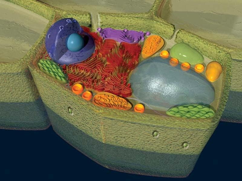 Biologija stanica s jezgrom biljna stanica